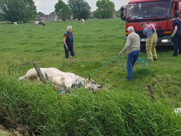 De stier zat vast in de prikkeldraad en kon niet op eigen houtje ontsnappen.