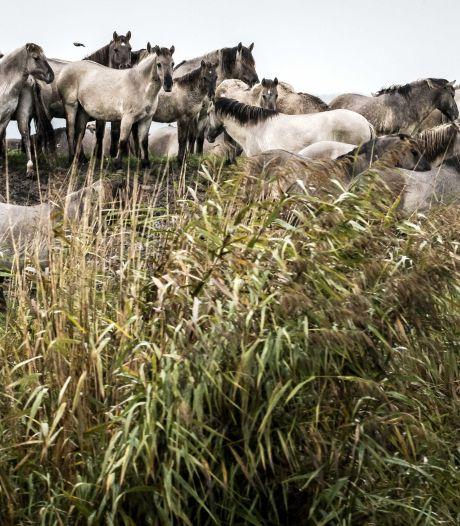 Paarden aan de wandel in Maastricht, agent gebeten door knol