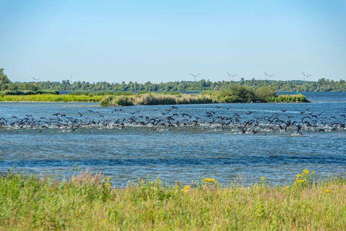 Het Volkerak heeft zich de afgelopen jaren ontwikkeld tot een uniek broedgebied voor zoetwatervogels.