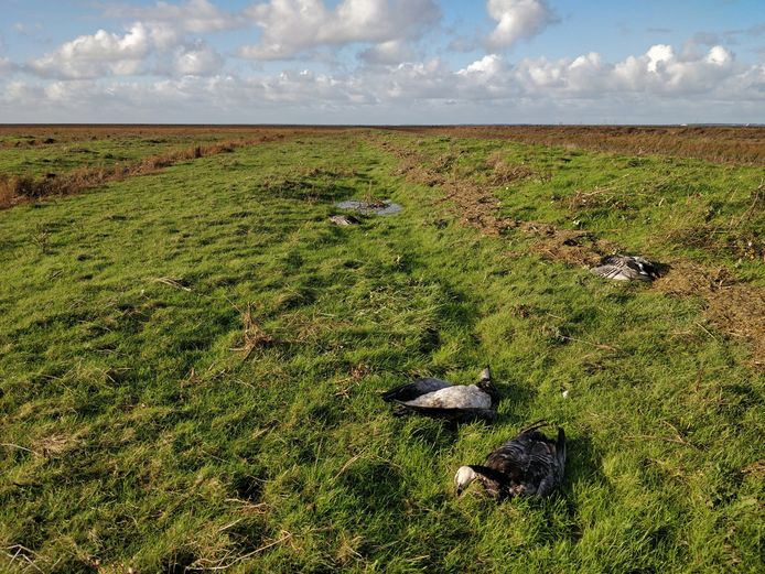 Wilde vogels leggen in Friesland het loodje door vogelgriep.