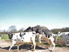 Ook koeien van boer Schouten in Doorwerth mogen weer de wei in