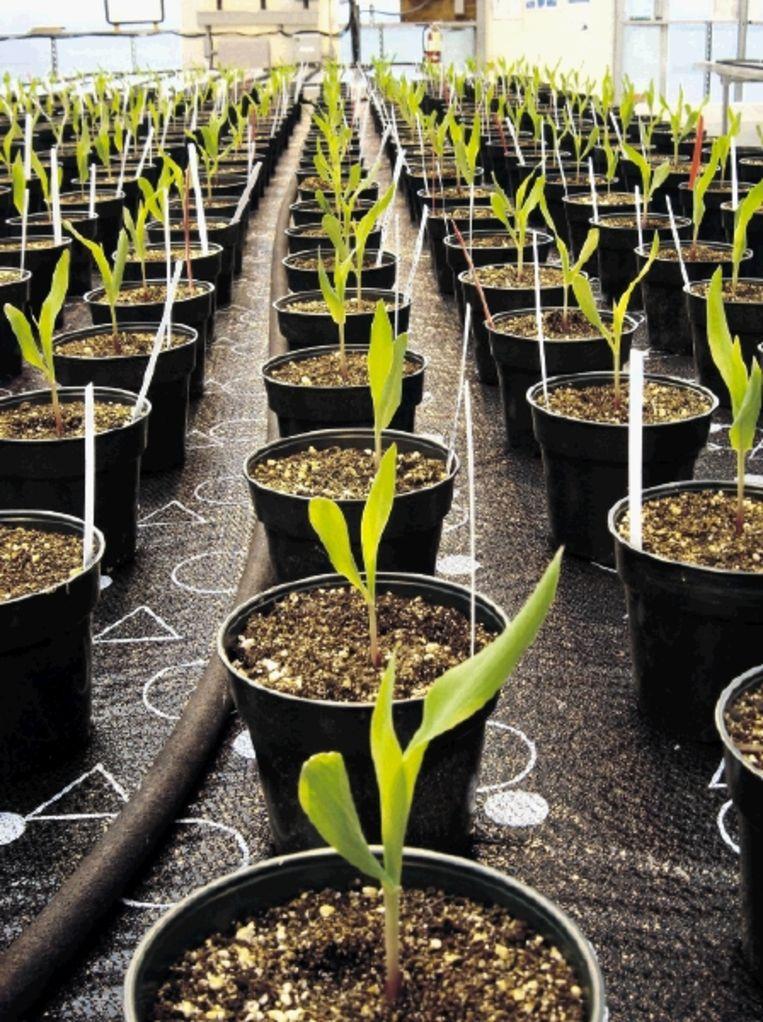 Zaailingen in een kwekerij van Monsanto in St. Louis in Missouri. (FOTO BLOOMBERG ) Beeld