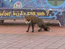 Vos gespot in binnenstad Kampen: 'Dat beestje hoort daar niet'