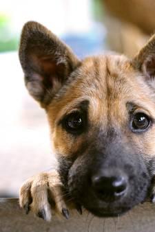 House of Animals: 'Puppyhandelaren in Diessen en Chaam werken met Hongaarse fraudeurs