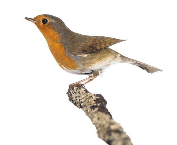 Zaterdag organiseert Natuurpunt Landen een vroege vogel wandeling.