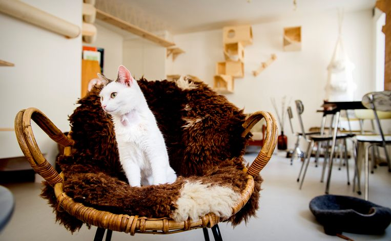 Een kat in cafe Kopjes, het eerste kattencafé van Nederland.   Beeld Hollandse Hoogte /  ANP
