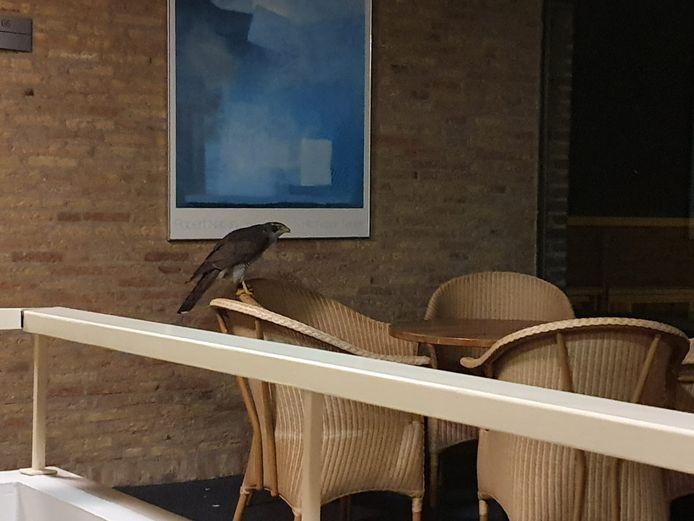 De havik in het hotel in Helvoirt.