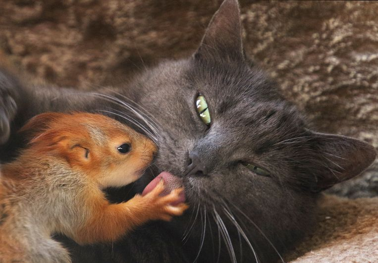 De onwaarschijnlijke vriendschap tussen een kat en eekhoorn. Beeld Reuters