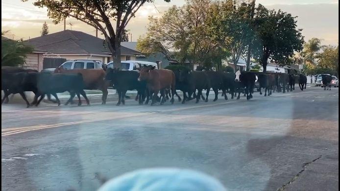 Les bovins en fuite ont sillonné les petites rues de Pico Rivera, s'attardant parfois sur les pelouses des maisons ou franchissant des clôtures comme le montrent des images diffusées par des télévisions locales.