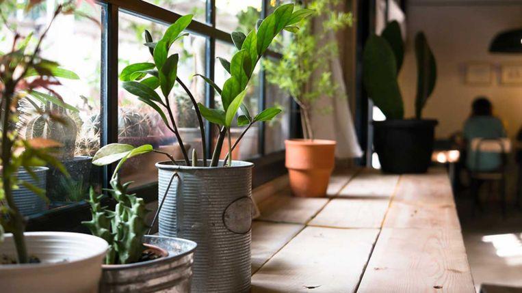 Er breekt een lastige periode aan voor je kamerplanten. De dagen zijn donkerder, de lucht in huis wordt droger en de verwarming draait op volle toeren. Zo voorkom je uitdroging, en houd je plantenbeestjes onder controle. Andere tips voor onderhoud van tuin en planten lees je in ons dossier.