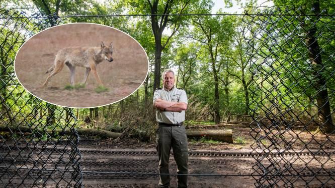 Onderzoek: wolf doodde moeflon in park De Hoge Veluwe