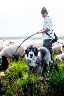Roemeense honden zijn helden voor Veluwse schapen: 'Springen ertussen bij alles wat een gevaar vormt'