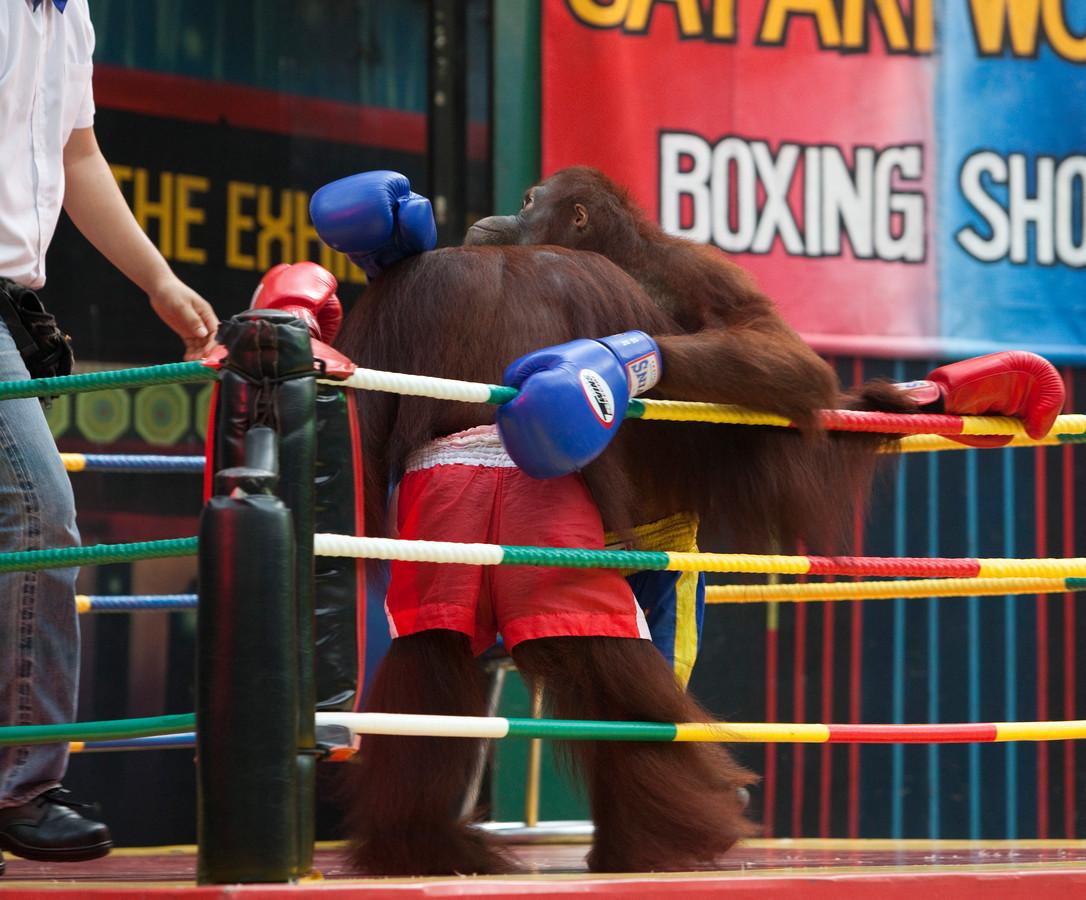Archiefbeeld van een boksmatch tussen twee orang-oetans in een pretpark in Bangkok, Thailand.