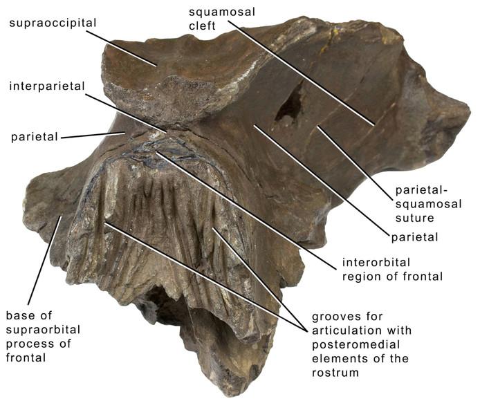 De beschrijving van de schedel.