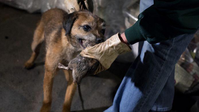 Met honden wordt in New York gejaagd op ratten.