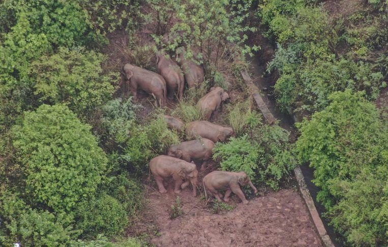 De kudde wilde olifanten is na een enorme zwerftocht bijna weer thuis. Beeld AFP