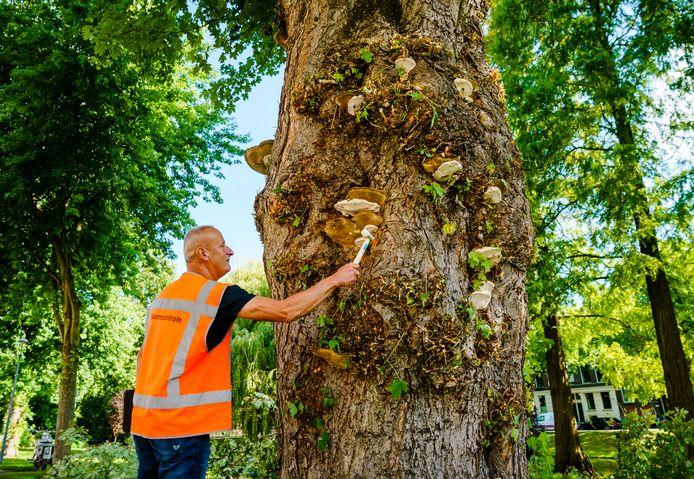 Boominspecteur Jan Willems inspecteert een van de met zwammen aangetaste bomen aan de westkant van de Heemraadssingel.  De ruim 100-jarige zilveresdoorn moet wat Willems betreft gekapt worden.