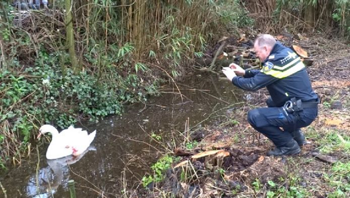 Een agent legt een gewonde zwaan vast