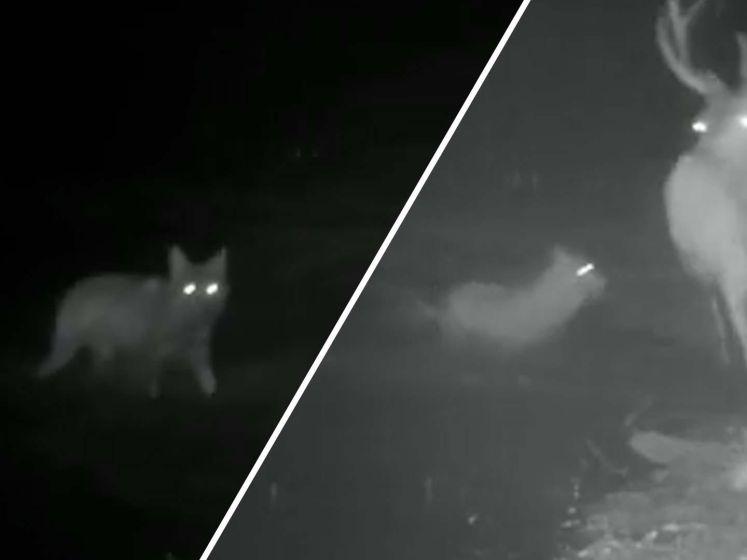 Spectaculaire beelden van wolf in gevecht met edelhert op de Veluwe