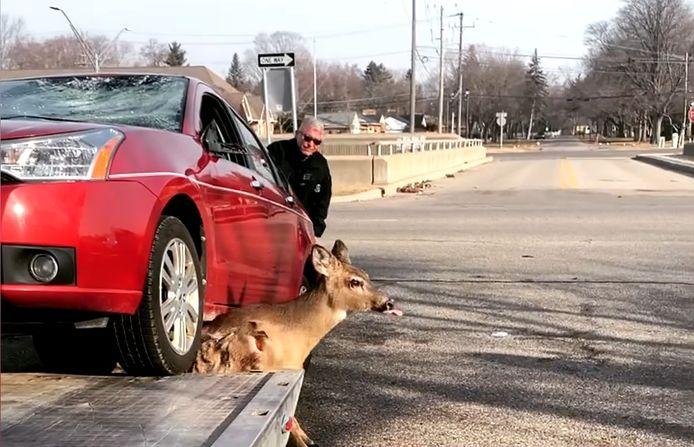 Une dépanneuse libère un cerf piégé sous une voiture dans le Michigan, aux États-Unis.