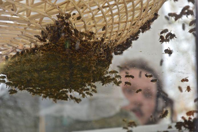 Wilde bijen zijn belangrijk voor de bestuiving van appel-en peerplantages.