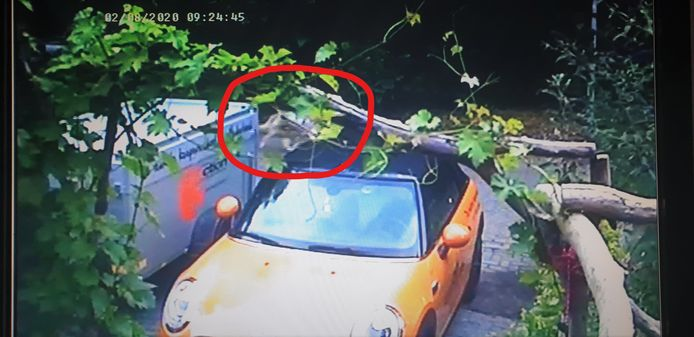 In de Arnhemse wijk Elderveld is een wolf gespot. De wolf is op een still van een camerabeeld te zien in de rode cirkel.