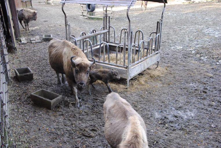 Het jonge kalfje overleefde de eerste dagen na de geboorte niet in Bellewaerde Park.