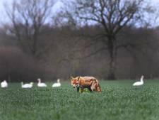 De vos als hulpje van de boer in de strijd tegen vraatzuchtige ganzen