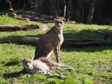 ZooParc Overloon nieuw thuis voor cheetahfamilie met vijf gezinsleden
