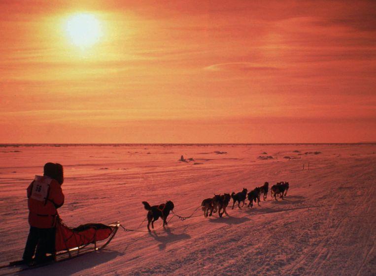 De Iditarod wordt naar jaarlijkse traditie gereden in Alaska en duurt in het beste geval ongeveer negen dagen. In de 'The last great race' moeten de honden en hun baasje 1.700 kilometer afleggen. Ze starten in Nome, in het westen van Alaska en eindigen in Anchorage, het zuidoosten van de staat.  Niet alleen de lengte van de race is een uitdaging, ook de kou is dat, met soms een gevoelstemperatuur van -75 graden Celsius. De honden kunnen last krijgen van bevriezing, kneuzingen of verrekte spieren. In de 44-jarige geschiedenis van de race zijn al 150 honden gestorven.    Dierenbeschermingsorganisaties als PETA hebben dan ook kritiek op de Iditaro. Volgens de menners worden de honden juist gepamperd om goed te kunnen presteren. Maar of dit ook onder pamperen valt: bij de vorige editie was er een dopingschandaal  toen vier honden positief testten op verschillende pijnstillers. Ook dit jaar zwelt de druk aan van verschillende dierenrechtenactivisten. De winnaar, die waarschijnlijk binnen zes dagen over de streep komt, krijgt een 4x4 en meer dan tienduizend dollar. Beeld AP
