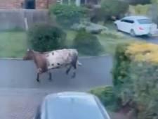 Une voiture de police percute volontairement une vache en fuite et tue l'animal