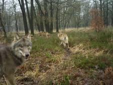 Wolven rukken op: leefgebied op de Veluwe flink uitgebreid