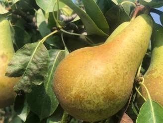 Zeer hoge prijzen voor peren verwacht door tegenvallende oogst