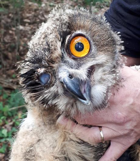 Half blinde en ernstig verzwakte oehoe gevonden in Winterswijk