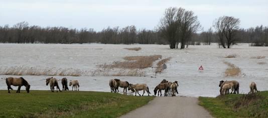 De konikpaarden zijn naar een hoger gelegen gedeelte in Munnikenland in Poederoijen verkast. Van de storm trekken ze zich weinig aan.