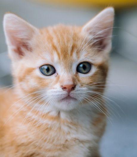 Kitten uit rijdende auto gegooid en overleden