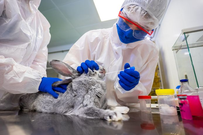 Bij een konijn wordt een monster afgenomen ten behoeve van de ontwikkeling van een coronavaccin voor dieren in Vladimir, Rusland. 9 december 2020.