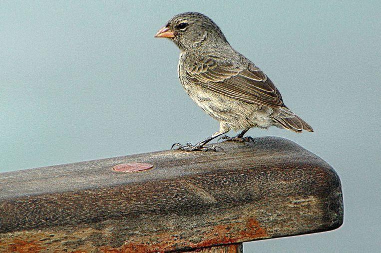 De Darwinvink. Beeld Wikimedia Commons/Cayambe
