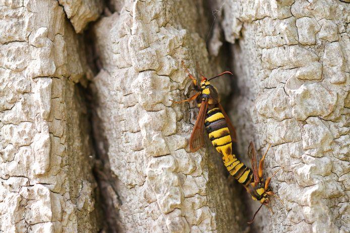 Parende hoornaarvlinders op de dikke stam van een populier.