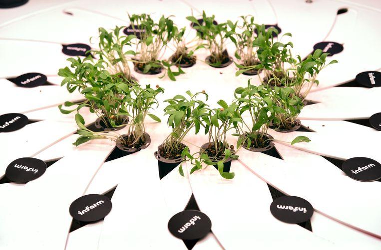 Deze plantjes in de Albert Heijn worden straks verkocht voor een prijs die vergelijkbaar is met gangbare kruiden. Beeld Marcel van den Bergh