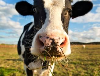 Koeien op nachtwandeling door Relegem