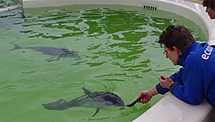 Bruinvissen Michael en José, proefkonijnen in het onderzoek, worden gevoerd door medewerkster van Ecomare.