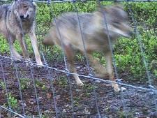 Waarschuwing: voer wolven niet, ze passen zich snel aan