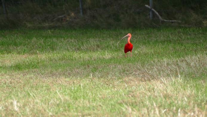 De rode ibis in het weiland aan de Duivelsdijk in Oldenzaal.