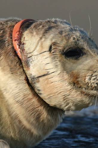 """Aangespoelde zeehond zwaargewond door plastic ring in zee: """"Dit gebeurt er als je afval in de natuur gooit"""""""