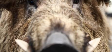 Wandelaar aangevallen door wild zwijn: 'Nog nooit meegemaakt'