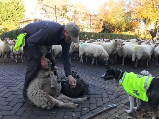 Eerste hulp bij manke schapen.