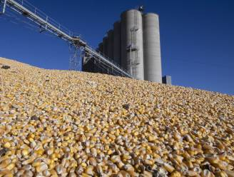 Europese Unie keurt GGO-maïs goed