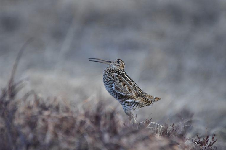 In niet meer dan 60 uur vliegt deze vogel van centraal Zweden naar de Sahel. Beeld Johan Backman