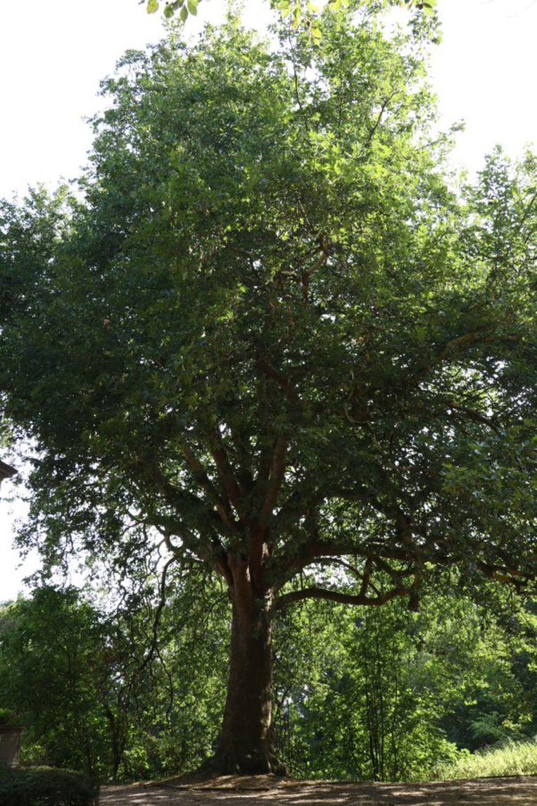 De boom staat achter het Kasteel van Wippelgem.